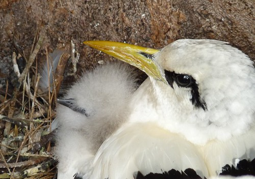Tropic Bird and 1-day old chick