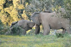 Frolicking Elephants
