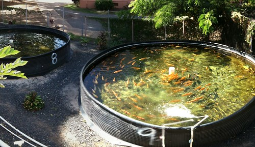 What are some commercially grown aquaculture in hawaii and for Fish farming at home