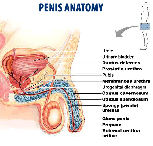 Erection Of A Penis 81