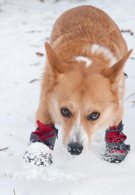 コーギースノーブーツ着用雪
