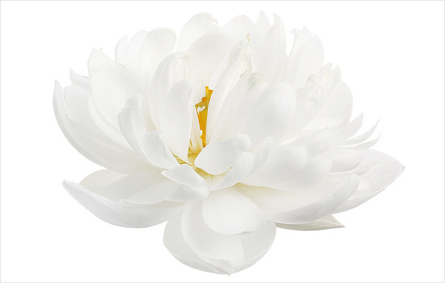 White Flower / White Lotus Flower / nature / white on white / nature / - IMG_3488-1000