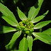 Green Poinsettia - Photo (c) Jerry Oldenettel, some rights reserved (CC BY-NC-SA)