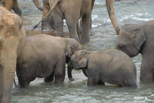 SriLanka_07_Elephant_Orphelins_2010_233