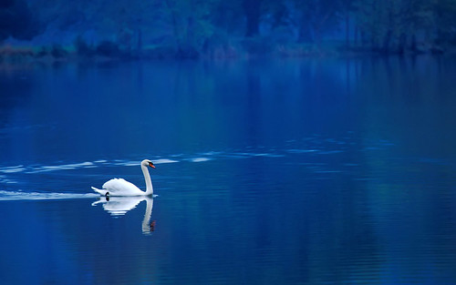 無料写真素材, 動物 , 白鳥・ハクチョウ, 青色・ブルー