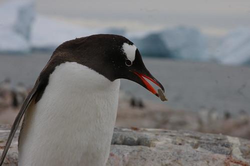Pingouin Gentoo au travail by hinayana