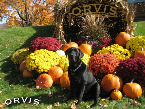 Orvis Cover Dog Contest - Maxwell