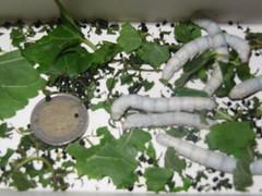 bombyx mori, moth, leaf, invertebrate, insect, bombycidae,