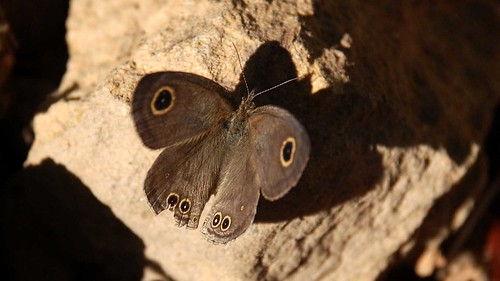 Fourring Butterfly