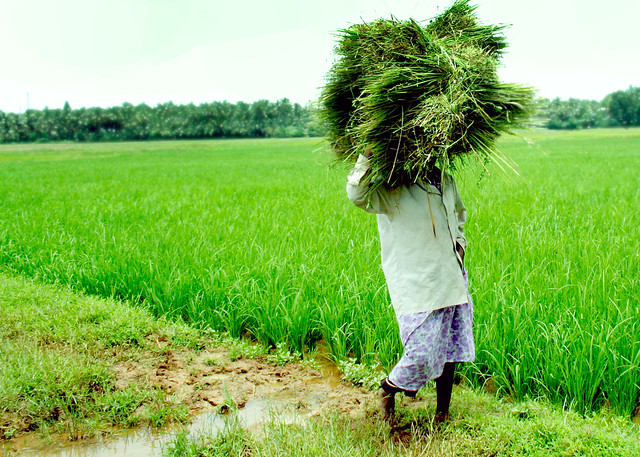 A paddy field worker going back home after work