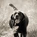 Joe the Easygoing Dog by H. Hille