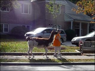 Llama in Lexington