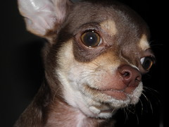 dog breed, chihuahua, nose, animal, dog, brown, snout, mammal, russkiy toy, close-up, whiskers, eye,