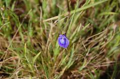 Bladderworts, Purple Bladderwort