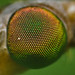 Crane fly compound eye detail