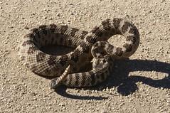 boas(0.0), boa constrictor(0.0), hognose snake(0.0), garter snake(0.0), animal(1.0), serpent(1.0), eastern diamondback rattlesnake(1.0), snake(1.0), reptile(1.0), fauna(1.0), viper(1.0), rattlesnake(1.0), sidewinder(1.0), scaled reptile(1.0), kingsnake(1.0),
