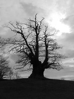 White Leaved Oak