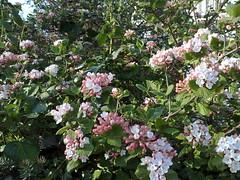 blossom, shrub, flower, garden, plant, lilac, viburnum,