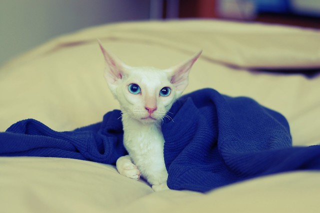 A Cornish Rex is a breed of domestic cat. The Cornish Rex has no hair except