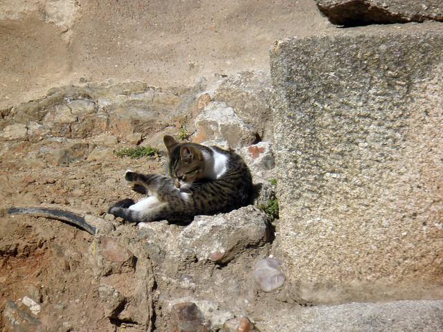 Cat among the ruins of the Municipal Forum, Augusta Emerita