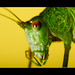 Fork-tailed Bush Katydid (Adult). by Jonathan|Campos