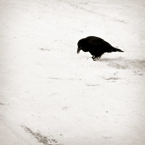 Solitary Raven