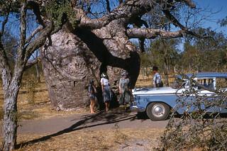 Derby Prison Boab Tree, 1959