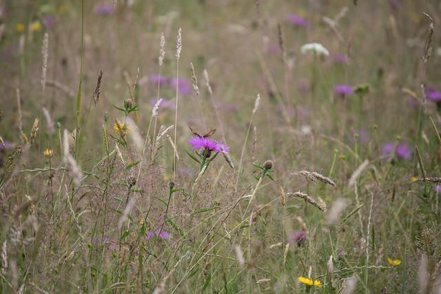 Meadow Brown & meadow