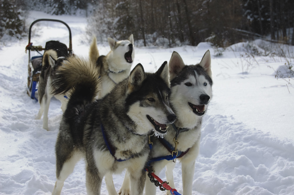 Dog Sledding Canada Quebec