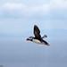 Puffin Flight by Darragh Sherwin