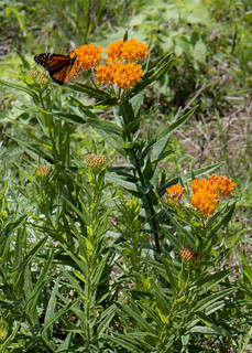Butterfly Weed 4564