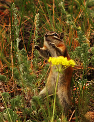 Feisty Chipmunk