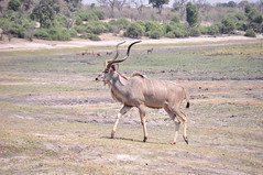deer(0.0), hartebeest(0.0), common eland(0.0), white-tailed deer(0.0), impala(0.0), gazelle(0.0), animal(1.0), prairie(1.0), antelope(1.0), plain(1.0), mammal(1.0), fauna(1.0), kudu(1.0), savanna(1.0), grassland(1.0), safari(1.0), wildlife(1.0),