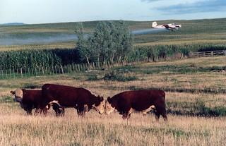 Farm steers