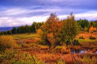 Silver birchs in the Autumn