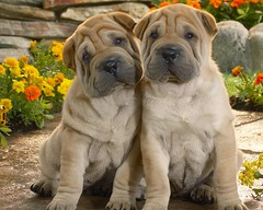 dog breed, animal, dog, pet, guard dog, shar pei, carnivoran, boerboel,