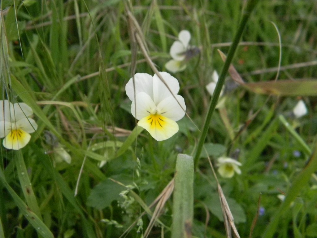 Wild Pansy In the fields near the start. Saunderton Circular via Bledow