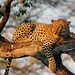 Leopard on tree limb next day #2