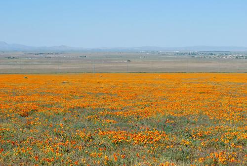 california flowers usa nature field spring unitedstates desert may poppies lancaster antelopevalley palmdale 2010