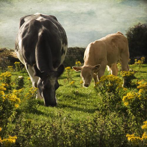 ireland landscape cattle irland connemara irl cowandcalf éire collinkey artistictreasurechest magicunicornverybest magicunicornmasterpiece
