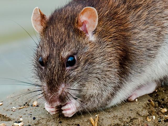 Brown rat Rattus norvegicus Wanderratte Flickr Photo