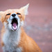 PEI Red Fox (GS) by Insight Imaging: John A Ryan Photography