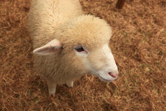 超可爱的三个月绵羊 | flickr – 相片分享!