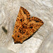 Small photo of [2260] Dotted Chestnut (Conistra rubiginea)