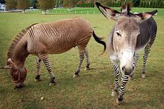 antelope(0.0), mare(0.0), zoo(0.0), zebra(0.0), horn(0.0), pack animal(0.0), safari(0.0), wildlife(0.0), animal(1.0), donkey(1.0), okapi(1.0), mammal(1.0), grazing(1.0), fauna(1.0),
