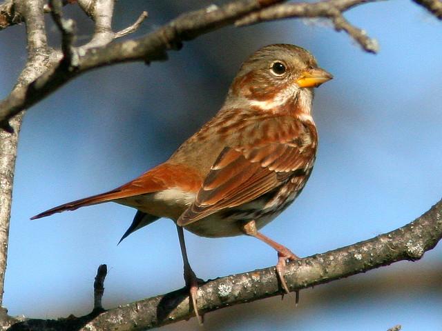 Fox Sparrow 2-20101017