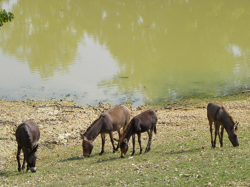 animal animals zoo hybrid genetics grazing zoos donkies wildanimalsafari zedonk drivethruzoo drivethruzoos