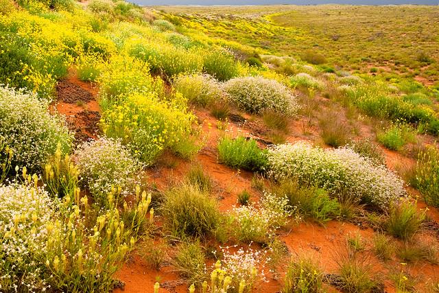 Simpson Desert Wildflowers