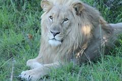 adventure(0.0), recreation(0.0), outdoor recreation(0.0), animal(1.0), mane(1.0), big cats(1.0), masai lion(1.0), lion(1.0), mammal(1.0), fauna(1.0), safari(1.0), wildlife(1.0),