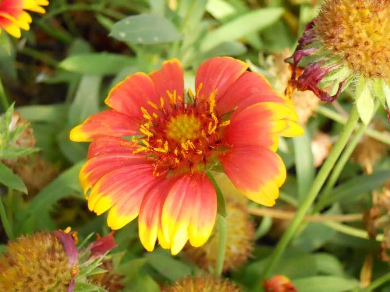 Gaillardia aristata 4